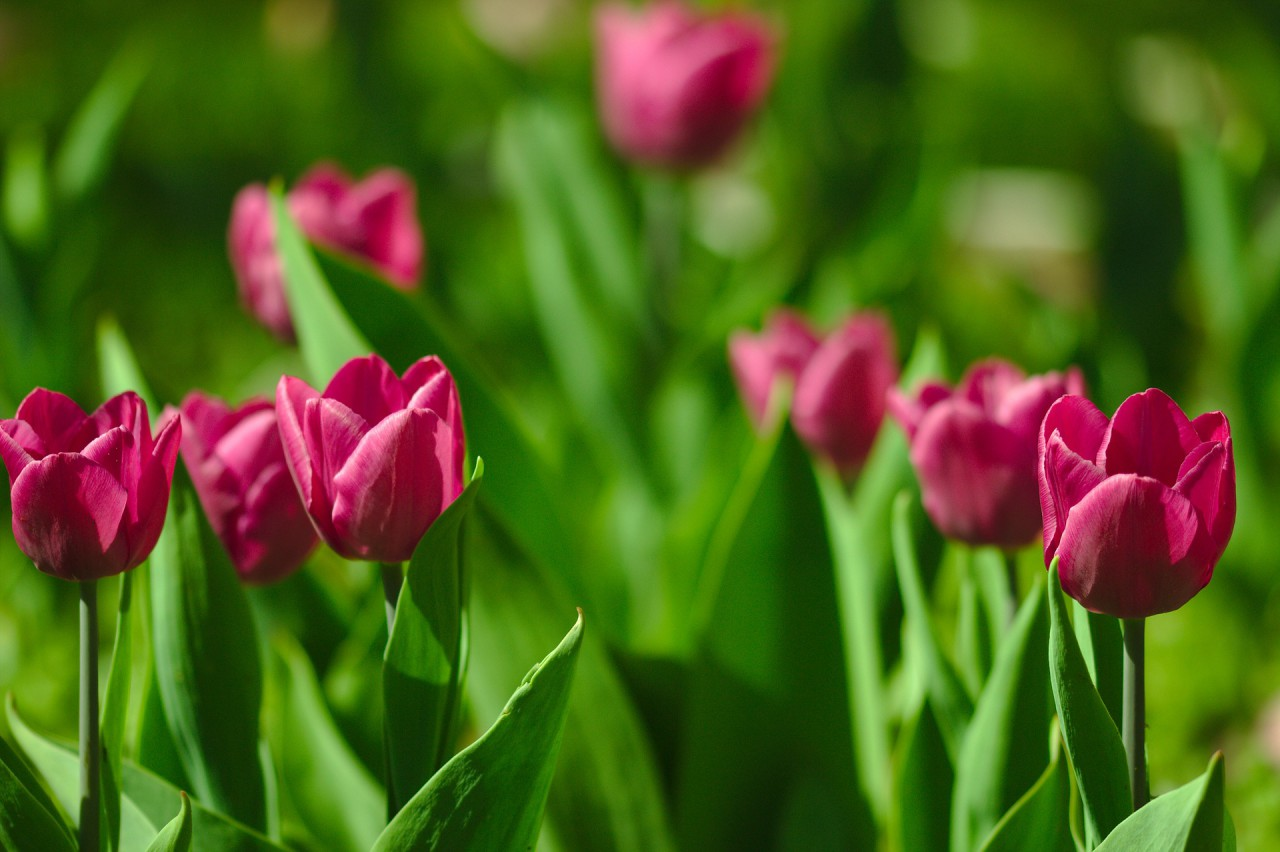 tulips-3965062_1920.jpg