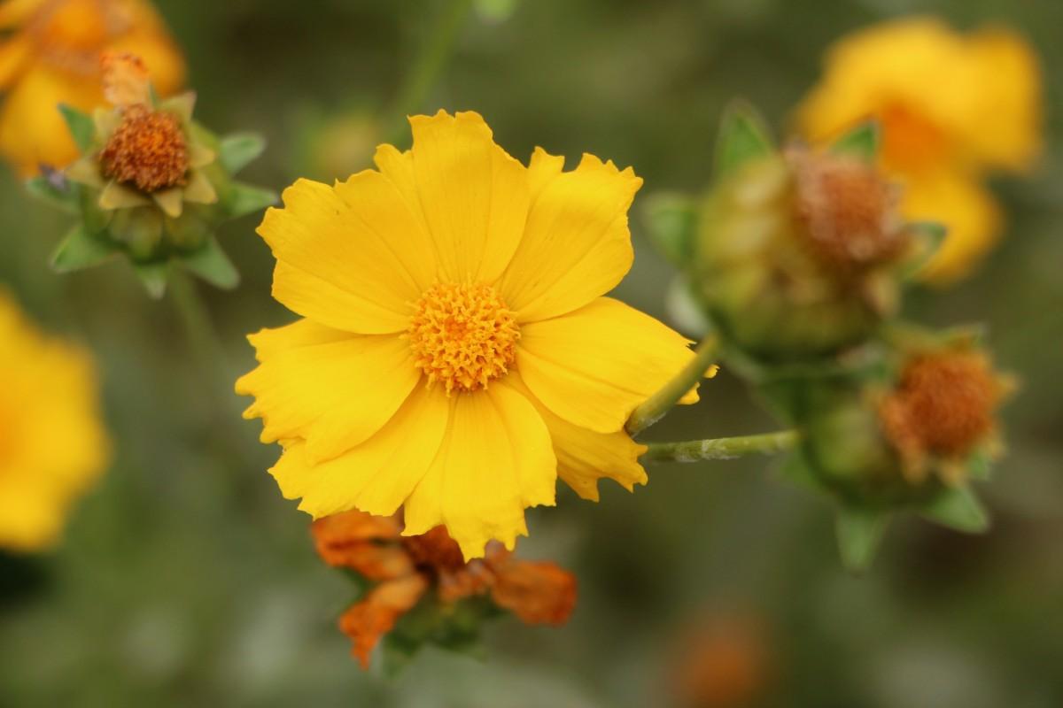 geumgyeguk_plants_flowers_nature_tabitha_june_flower_gardens_yellow-604561.jpg!d.jpg