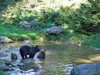 Bären im Wasser
