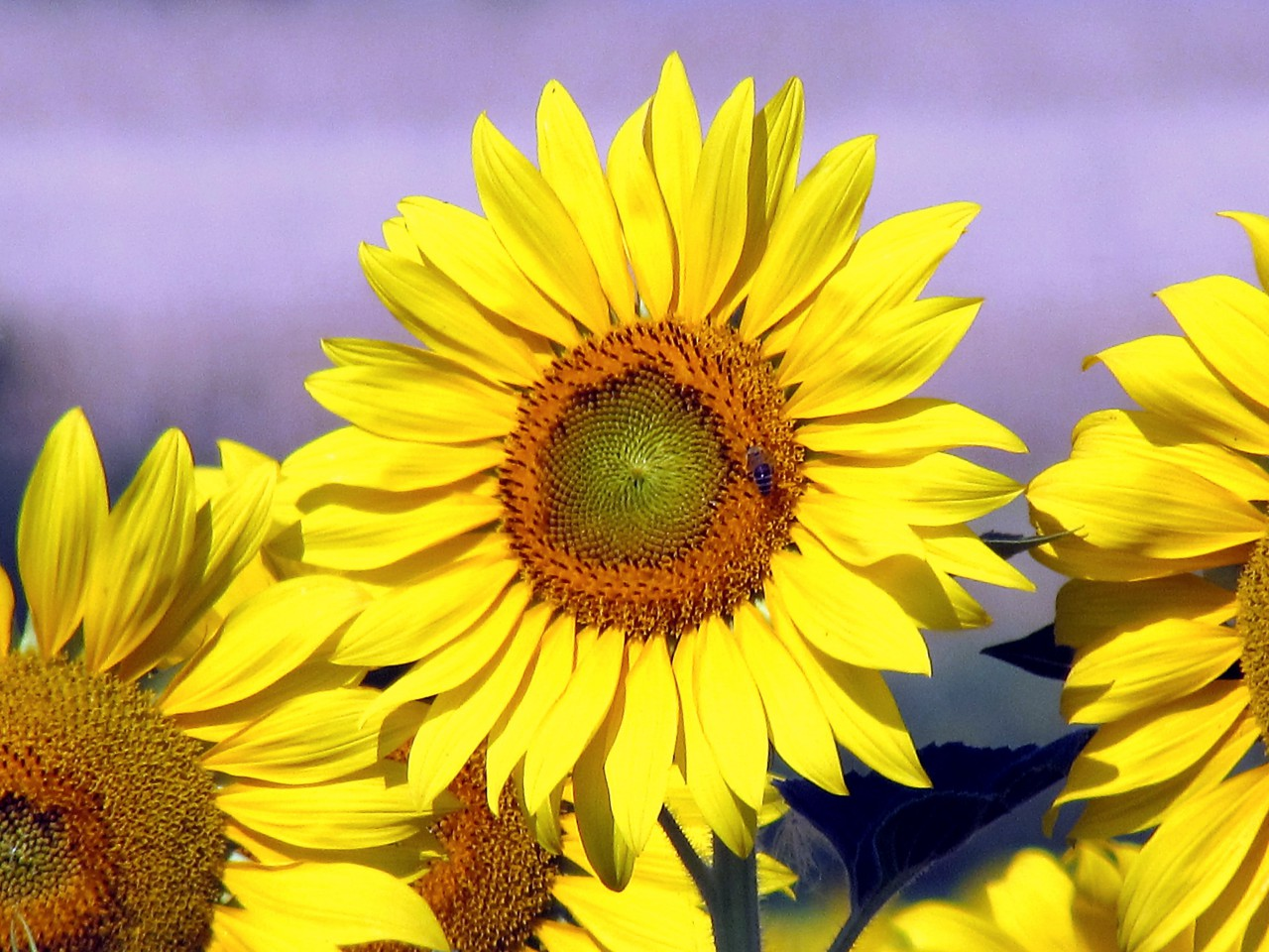 sunflower-sunflower-field-sunflowers-346007.jpg